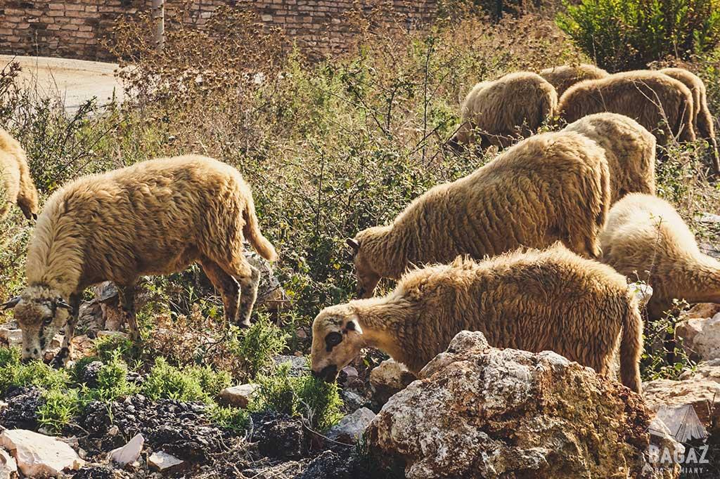 owce w albanii