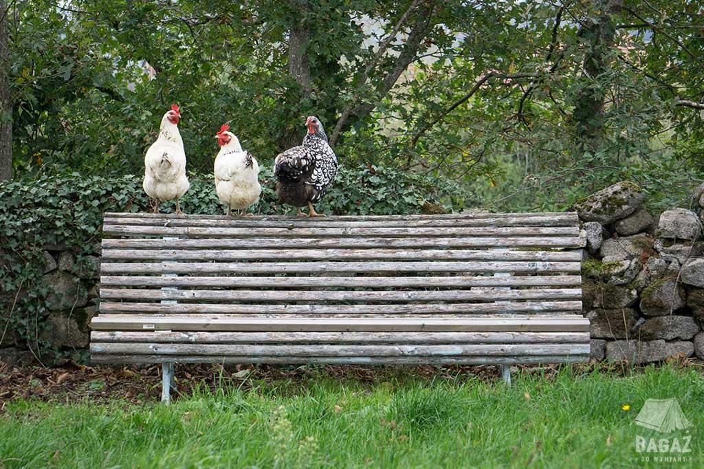 trzy kury na ławce house sitting