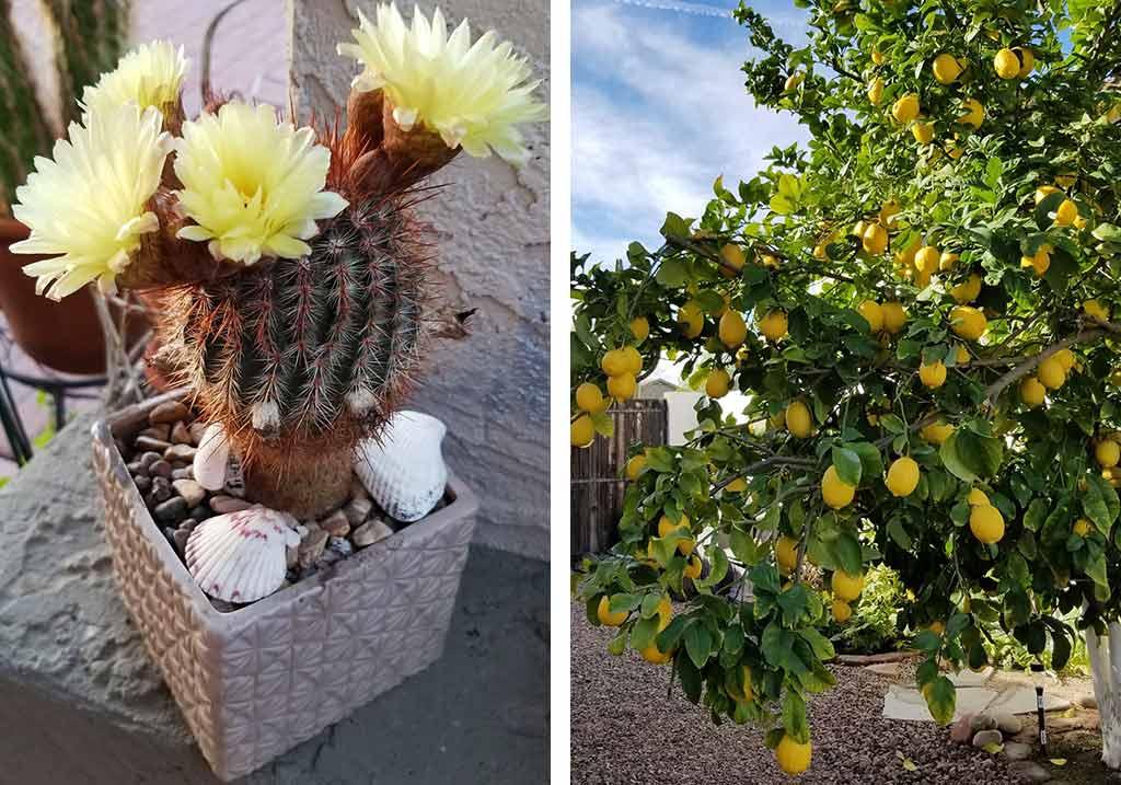 kaktusy i cytryny arizona