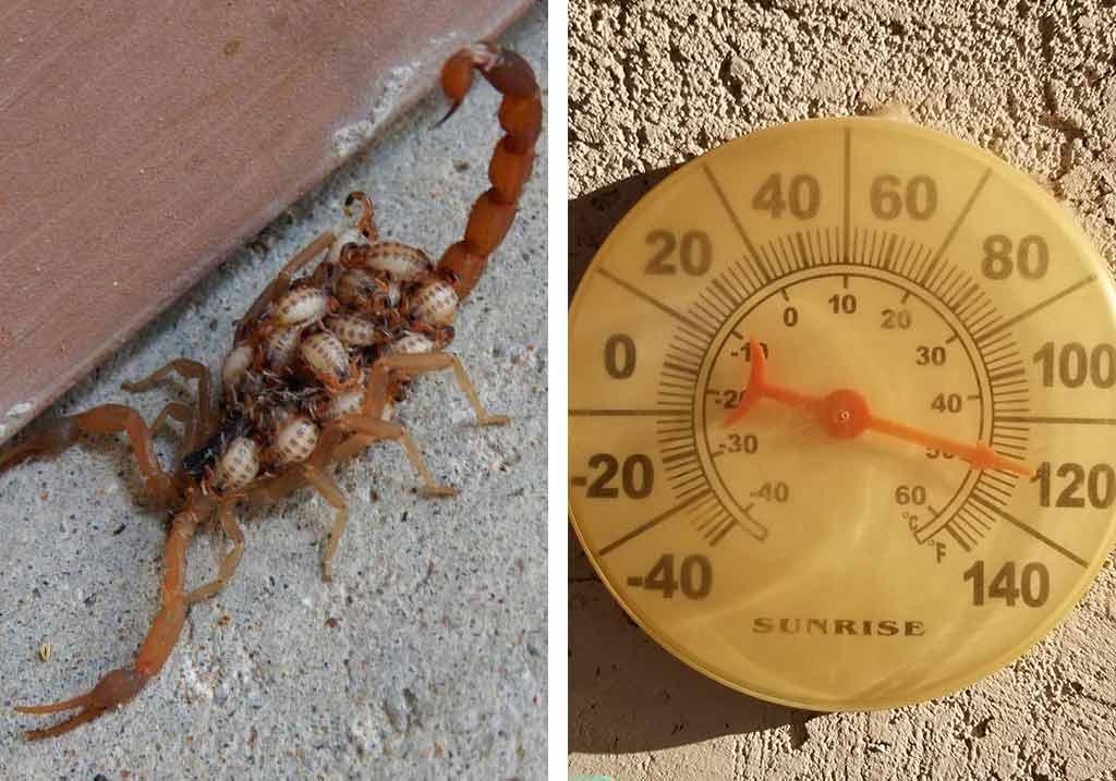 skorpion z młodymi i termometr wskazujący wysoką temperaturę